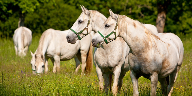 1 - Kobilarna Lipica
