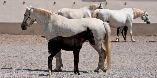 4 - Kobilarna Lipica