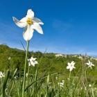 17-Narcise na okoliških travnikih