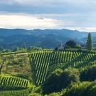 16-Zopet vinogradi