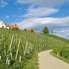 17-In še kar vinogradi