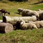 1-Živali pri domačiji Dolenc na planini Vogar