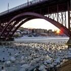 17-Labodi pod Glavnim mostom