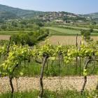1-Vinogradi na obronkih Kopra