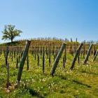 6-Med vinogradi