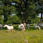 6-Kobilarna Lipica