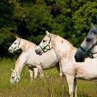 1-Kobilarna Lipica