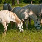 3-Kobilarna Lipica
