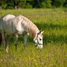 4-Kobilarna Lipica