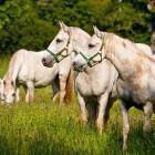 5-Kobilarna Lipica