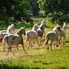 7-Kobilarna Lipica