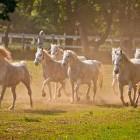 8-Kobilarna Lipica