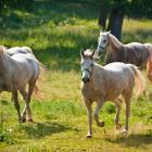 9-Kobilarna Lipica