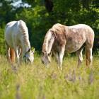 10-Kobilarna Lipica