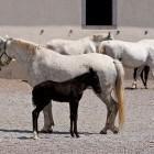 16-Kobilarna Lipica