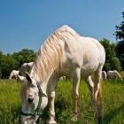 15-Kobilarna Lipica