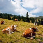 3-Hike with the cows