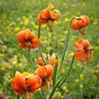 8-Kranjska lilija